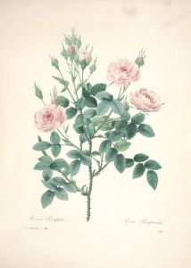 Wings of Whimsy: Belles Fleurs 1833 by Pierre-Joseph Redouté - with tutorial on how to use Open Library #antique #vintage #roses #flowers #florals #ephemera #printable