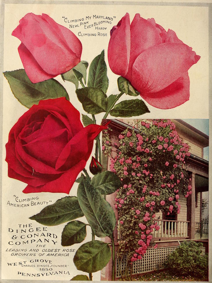 Wings of Whimsy: Antique Seed Catalogs Reinvented - 1914 Dingee Guide to Rose Culture #vintage #epehemera #freebie #printable #seed #catalog