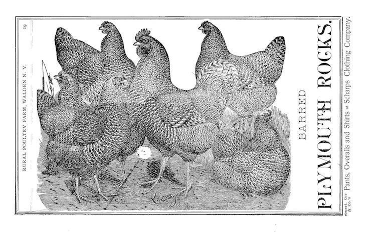 Wings of Whimsy: Barred Plymouth Rocks 1893 #freebie #vintage #ephemera #hens #roosters #cocks # easter