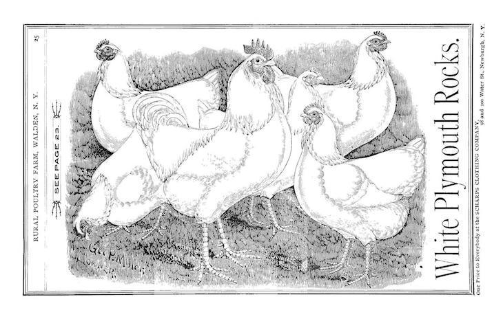 Wings of Whimsy: White Plymouth Rocks 1893 #freebie #vintage #ephemera #hens #roosters #cocks # easter
