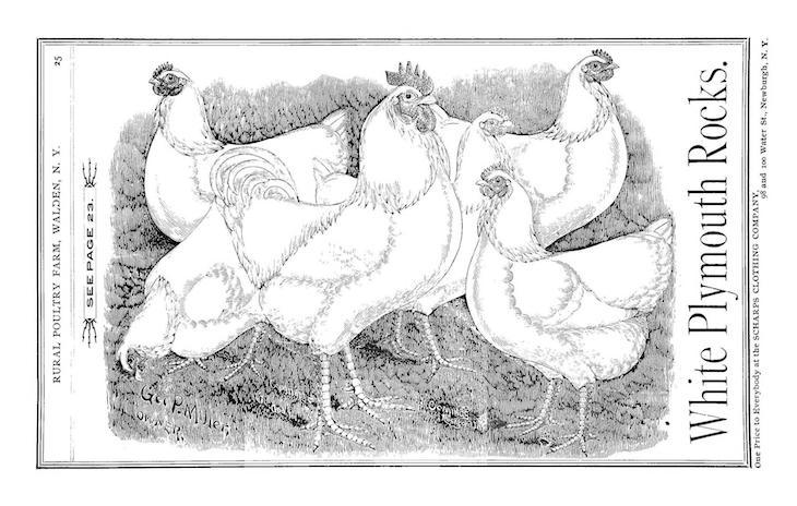Wings of Whimsy: White Plymouth Rocks 1893 #freebie #vintage #ephemera #hens #roosters #cocks # easter